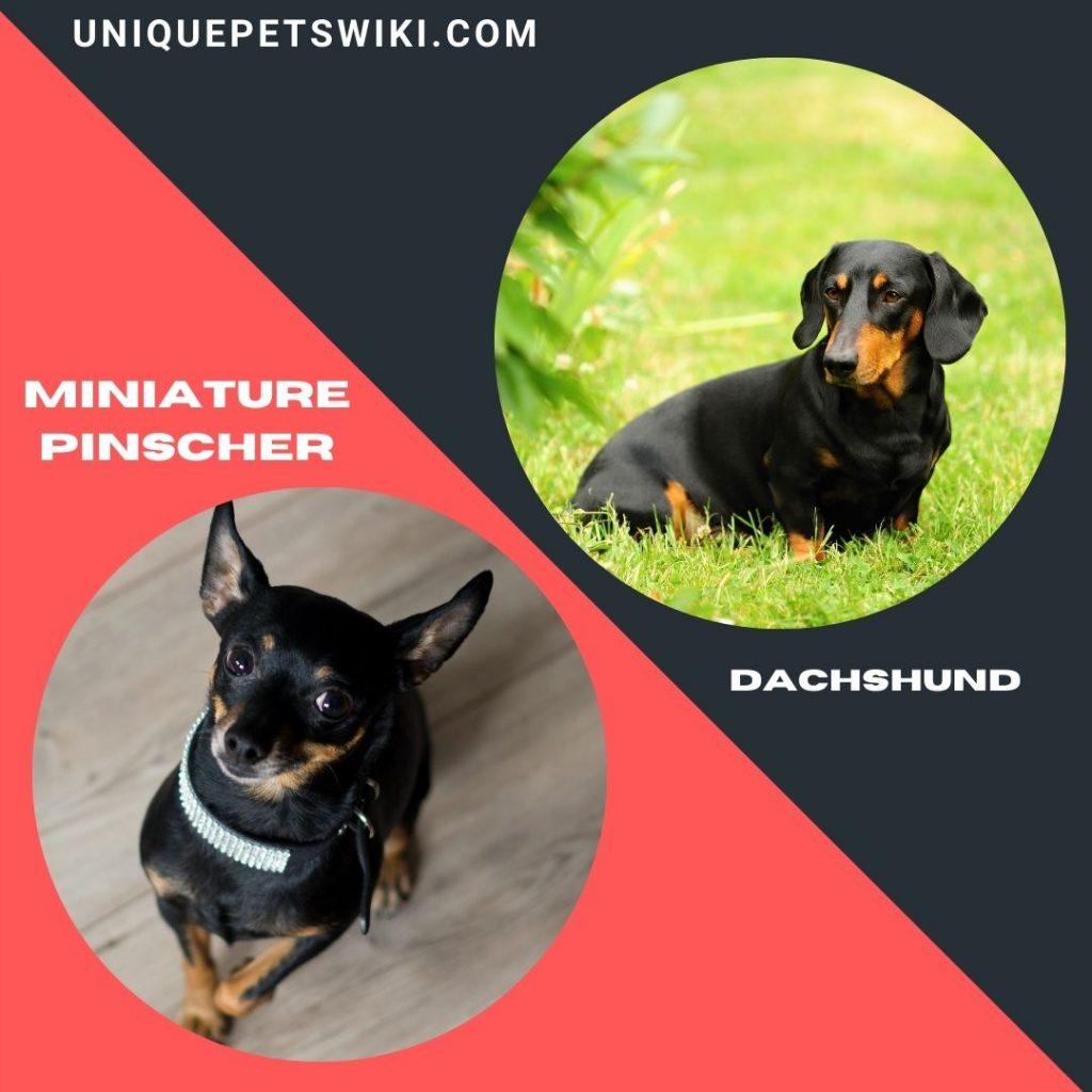 Miniature Pinscher and Dachshund small black dogs