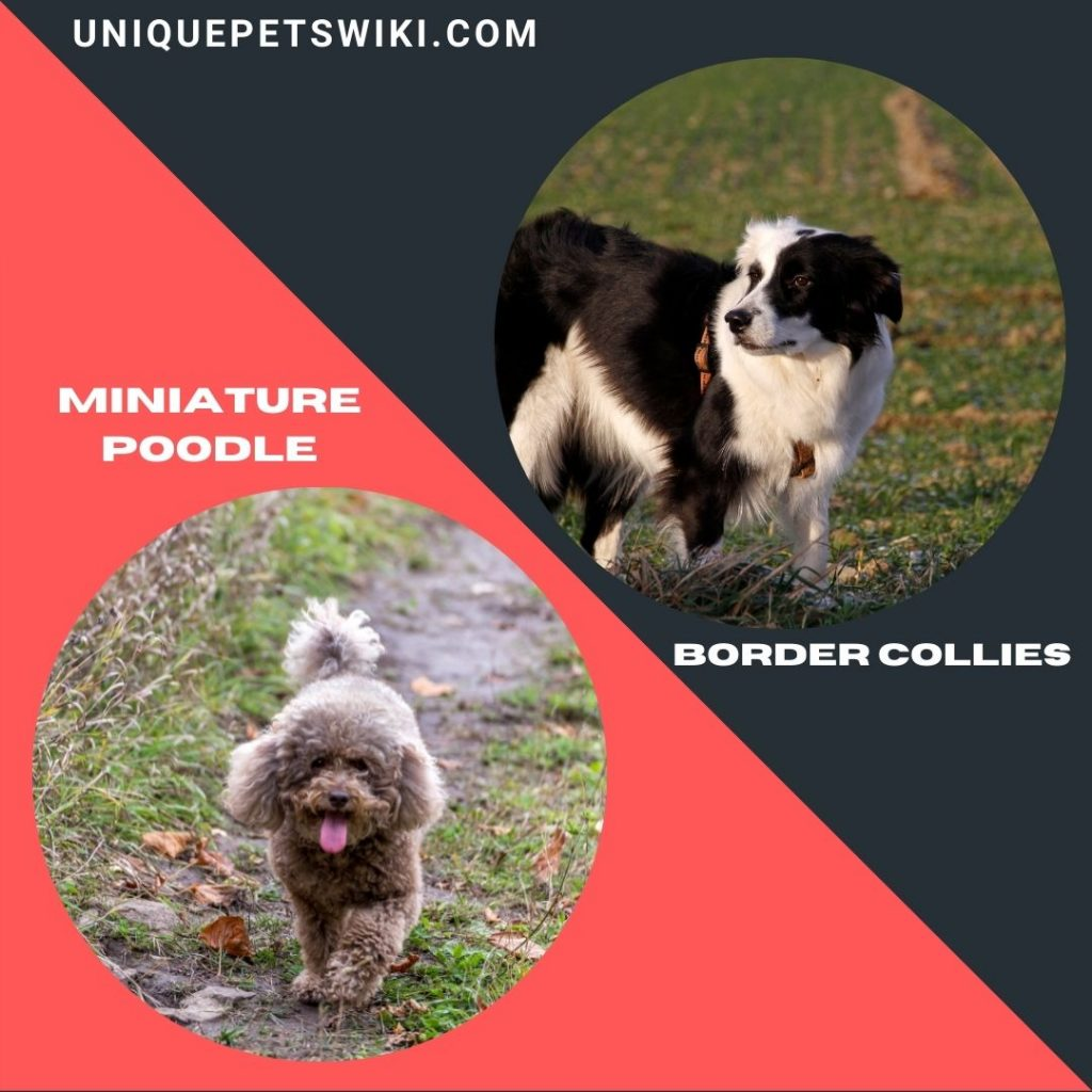 Miniature Poodle and Border Collies small smart dogs breed