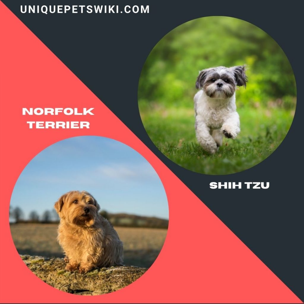 Norfolk Terrier and Shih Tzu small smart dogs
