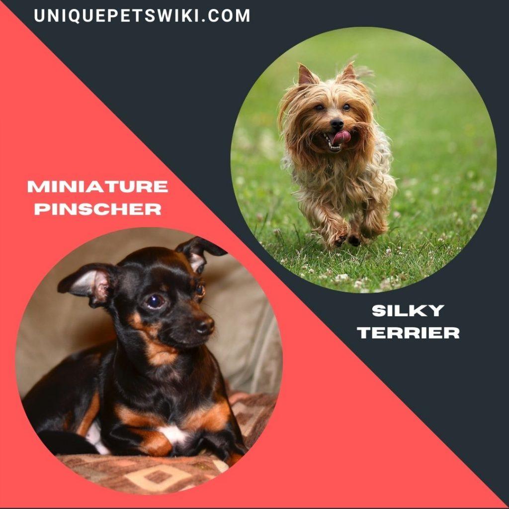 Silky Terrier and Miniature Pinscher smart dogs