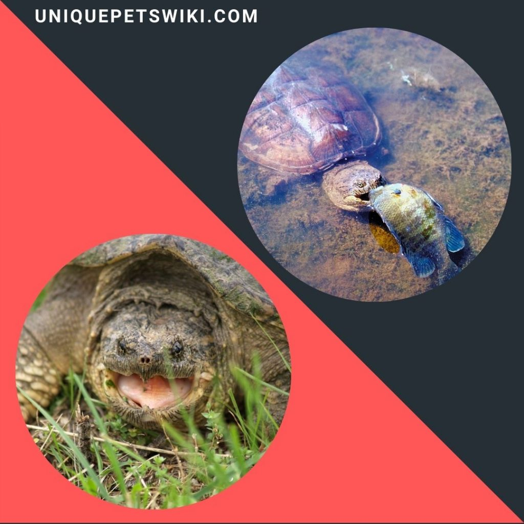 both common and  alligator snapping turtles are omnivores