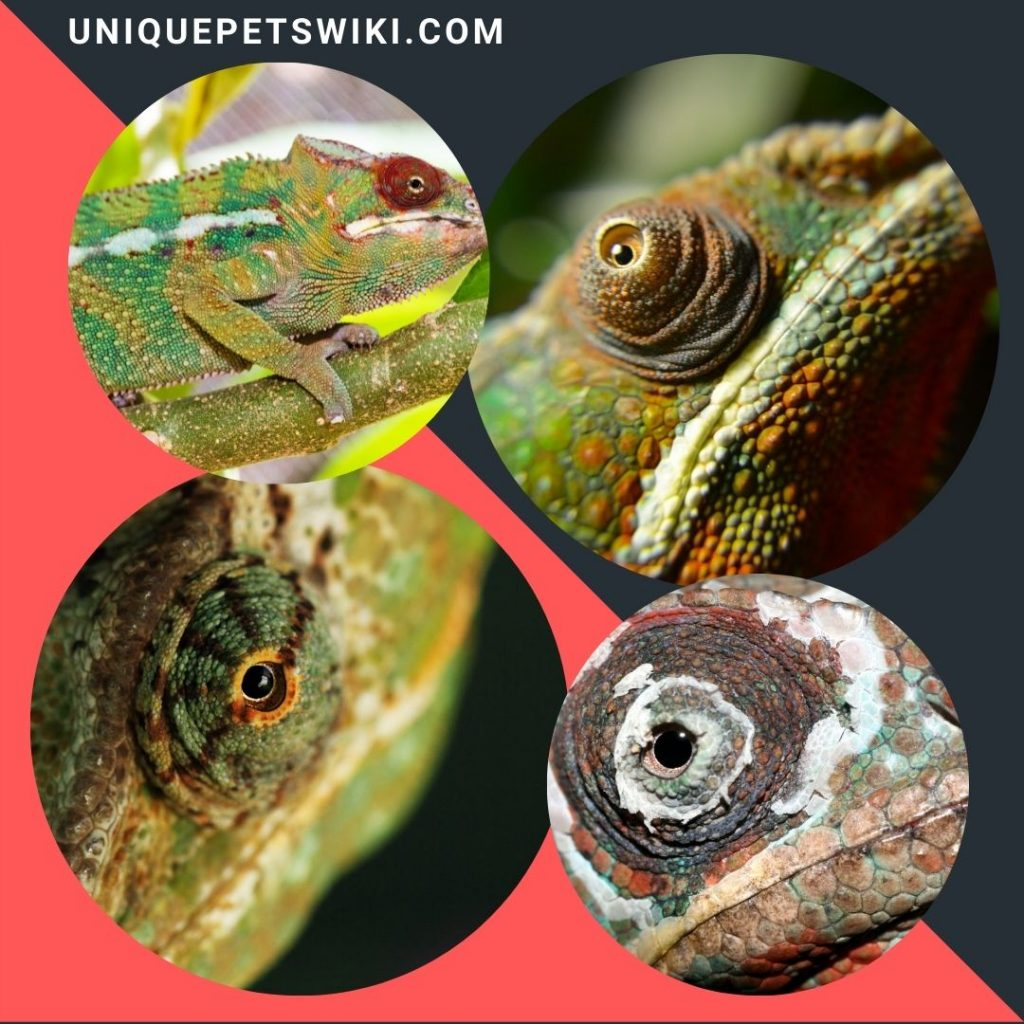 Chameleons Have Odd Eyes.