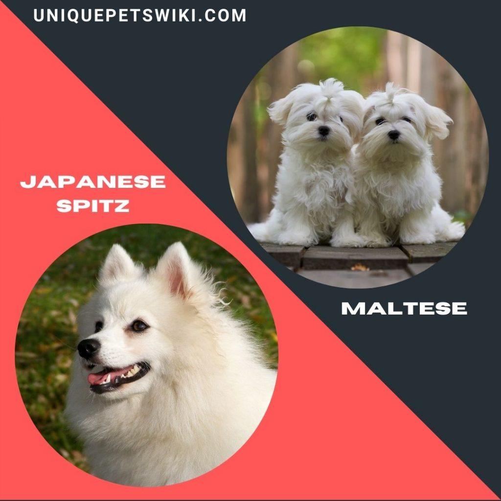 Japanese Spitz and Maltese small white fluffy dog breeds