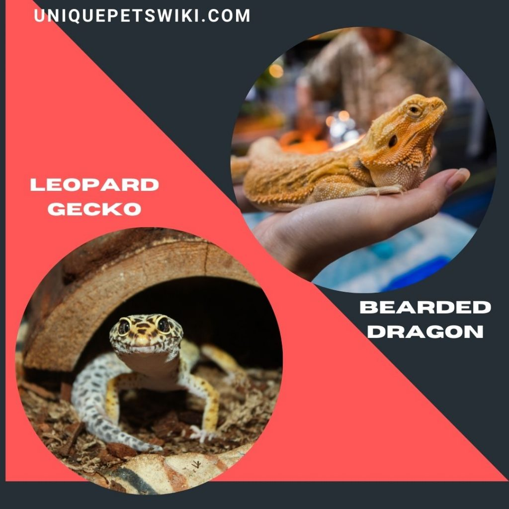 Leopard Gecko and Bearded Dragon best beginner friendly pet lizards