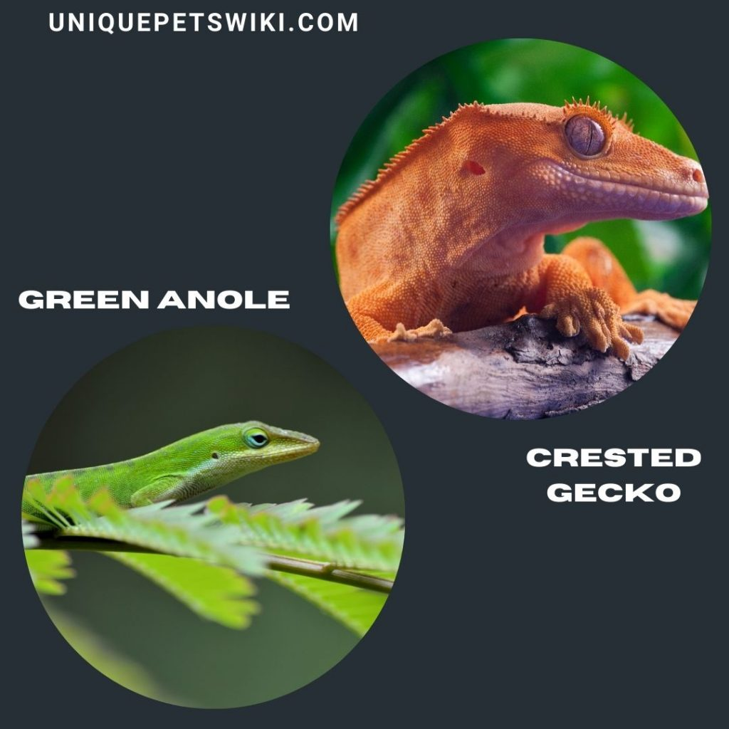 Crested Gecko and Green Anole