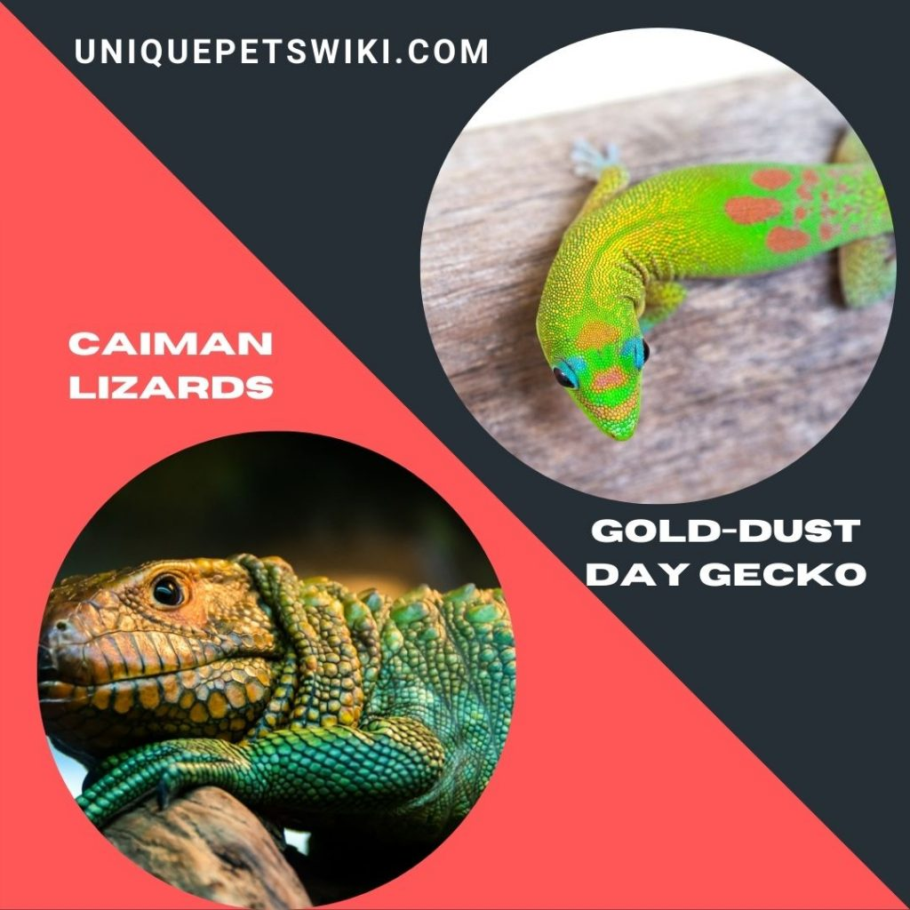 Caiman Lizards and Gold-Dust Day Gecko