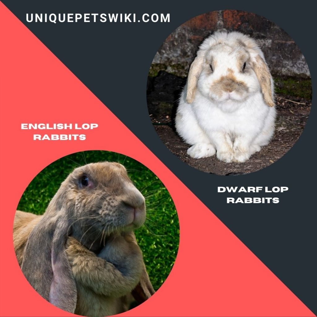 English Lop Rabbit and Dwarf Lop Rabbit breeds