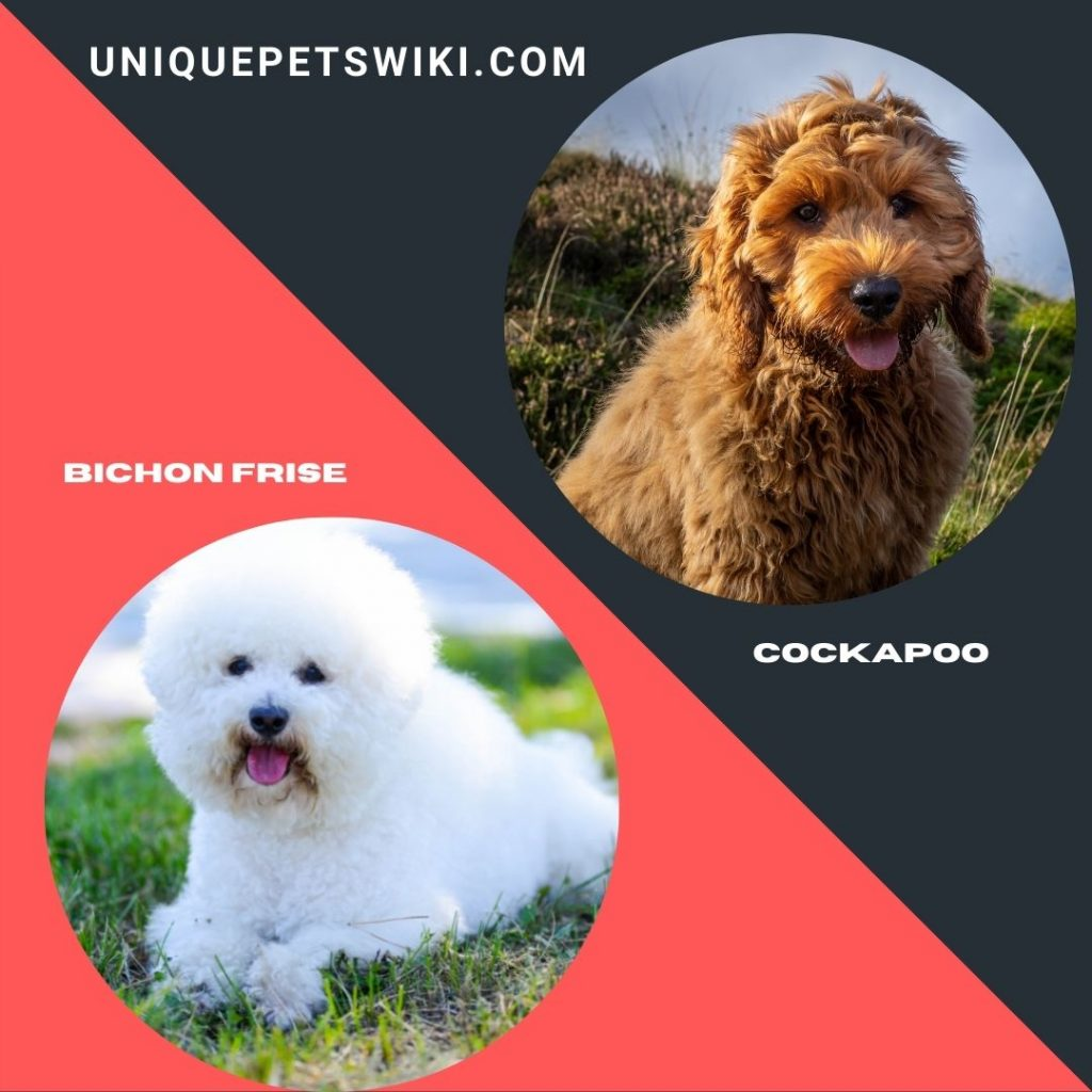 Bichon Frise and Cockapoo small shaggy dog breeds