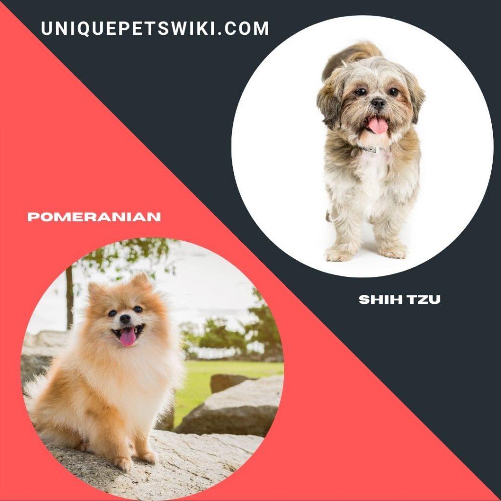 Pomeranian and Shih Tzu shaggy dog breeds
