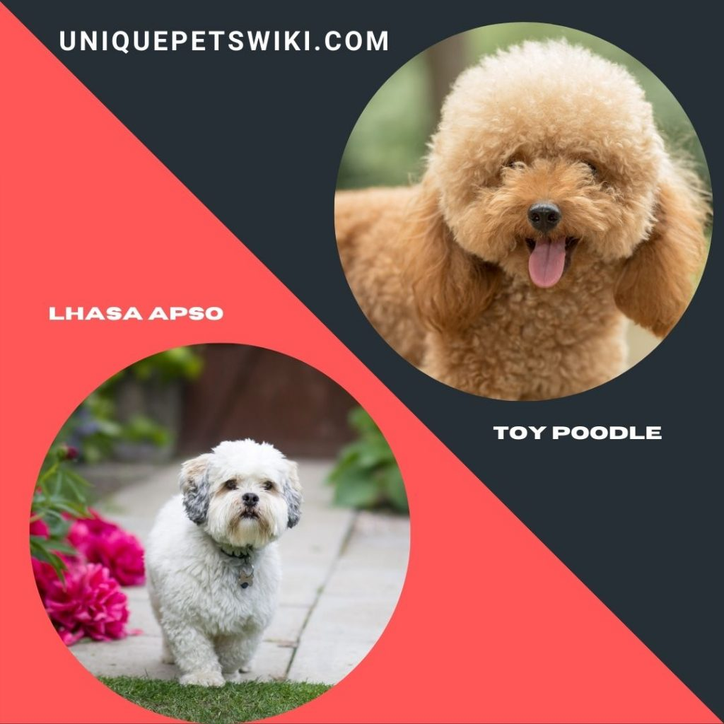 Lhasa Apso and Toy Poodle shaggy dog breeds