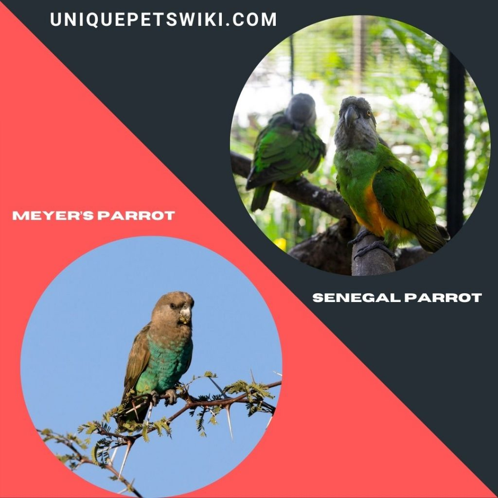 Senegal Parrot and Meyer's Parrot breeds