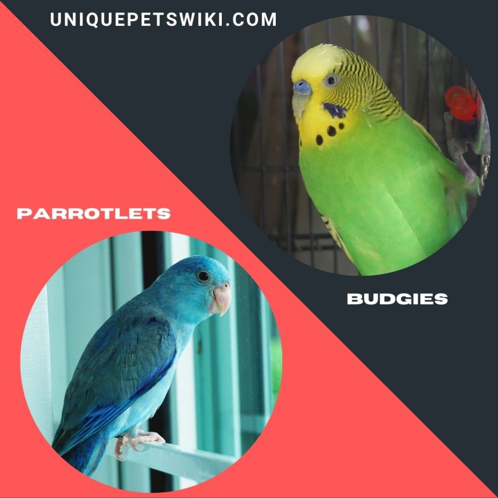 Budgies and Parrotlets small parrot breeds