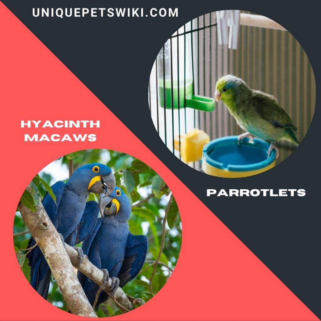 Hyacinth Macaws and Parrotlets