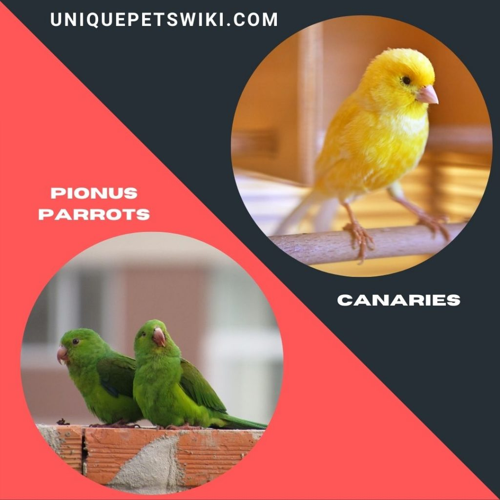 Pionus Parrots and Canaries