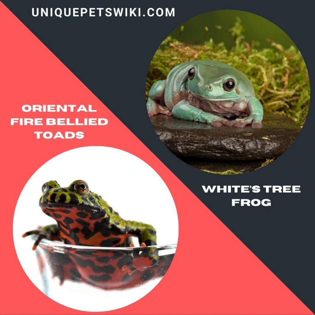 Best Beginner Friendly Pet Frogs