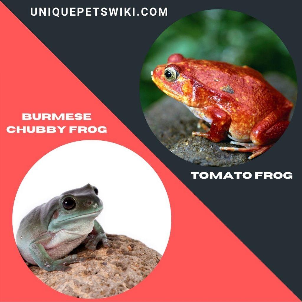 Burmese Chubby Frog and Tomato Frog