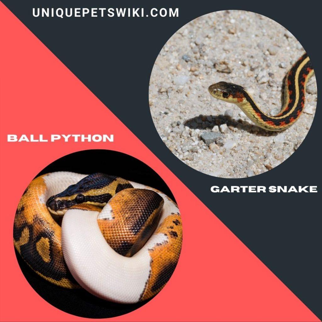 Ball Python and Garter Snake