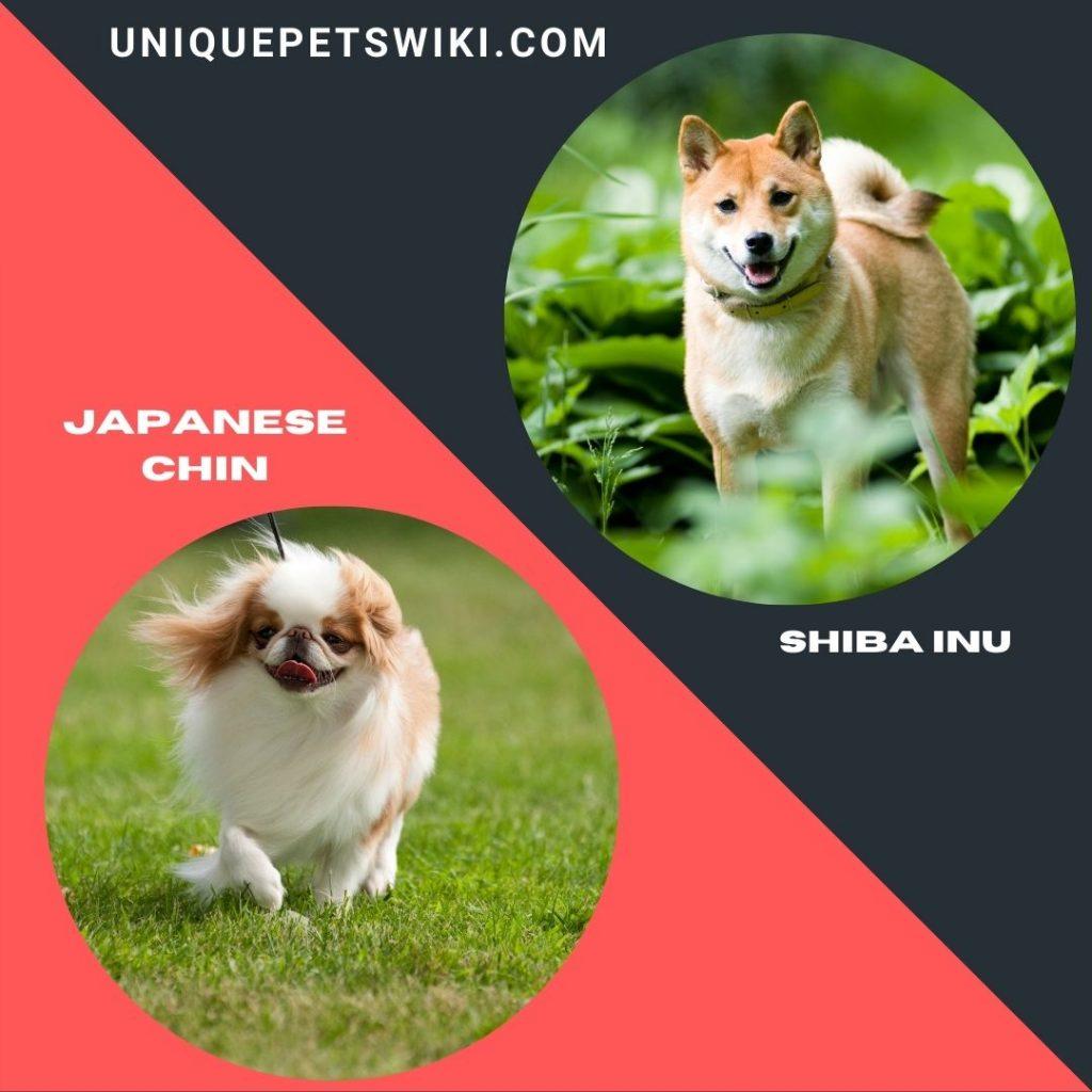 Shiba Inu and Japanese Chin small dog breeds that don't bark