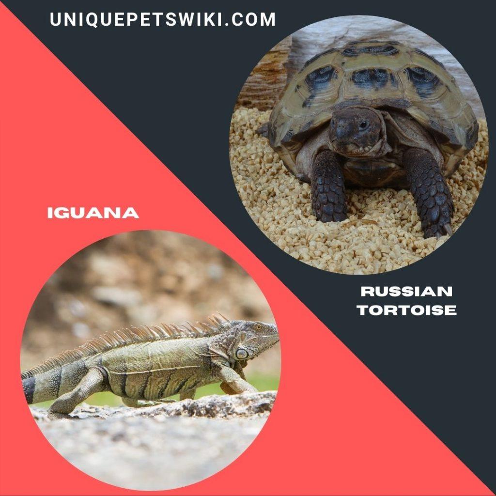 Iguanas and Russian tortoise