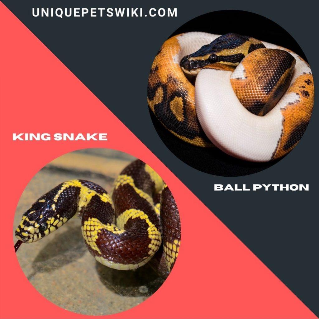 King Snake and ball python