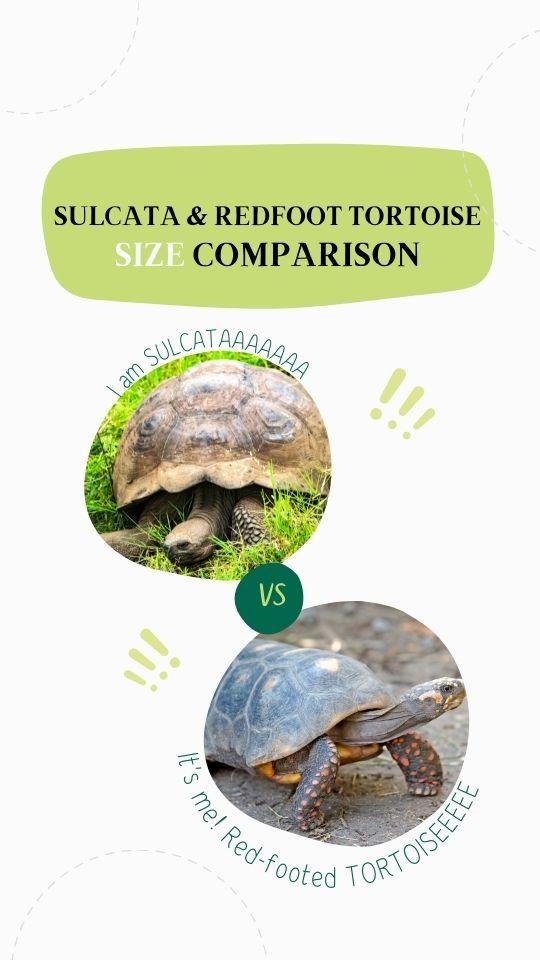 Sulcata vs. Redfoot tortoise