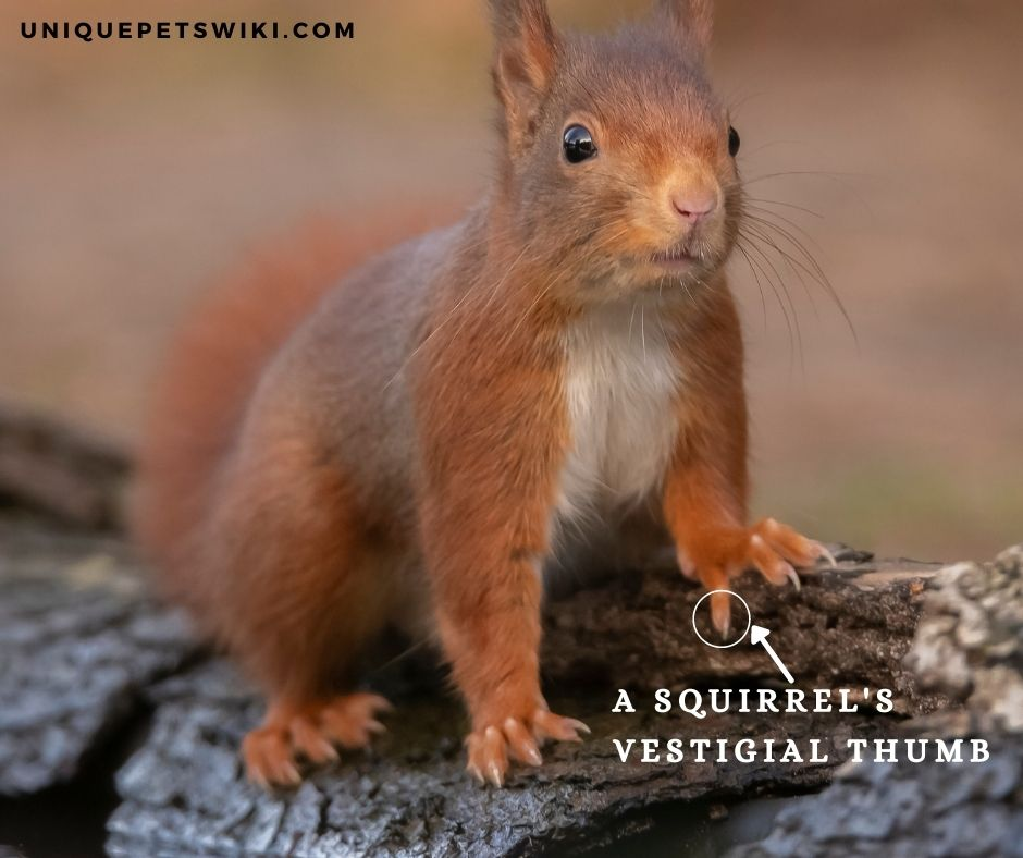 do squirrels have thumbs