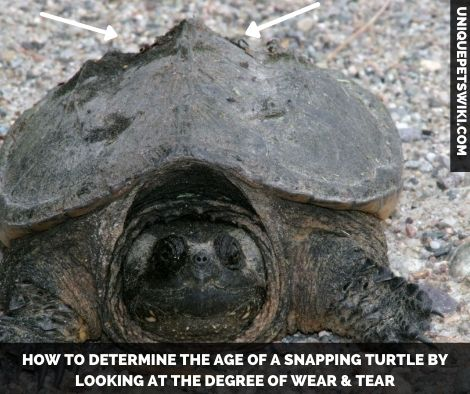 the wear and tear on snapping turtle's shell