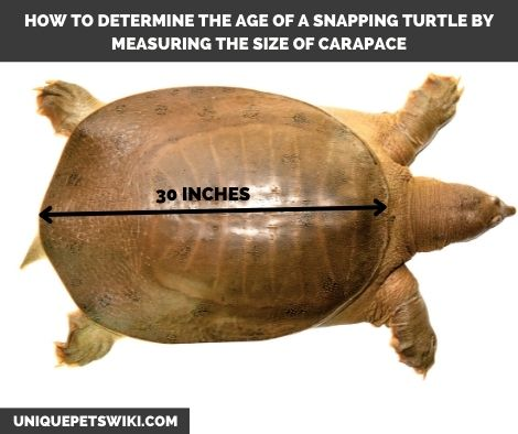 telling the age of snapping turtles by shell length