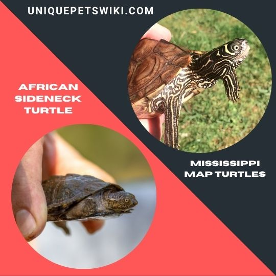 an African Side-neck Turtle and the Mississippi Map Turtles