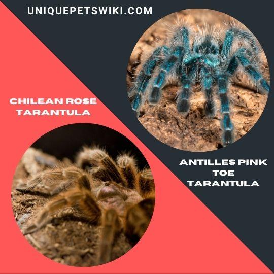 best beginner pet tarantulas