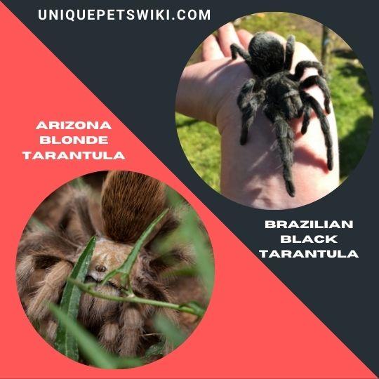 Arizona Blonde Tarantula and Brazilian Black Tarantula
