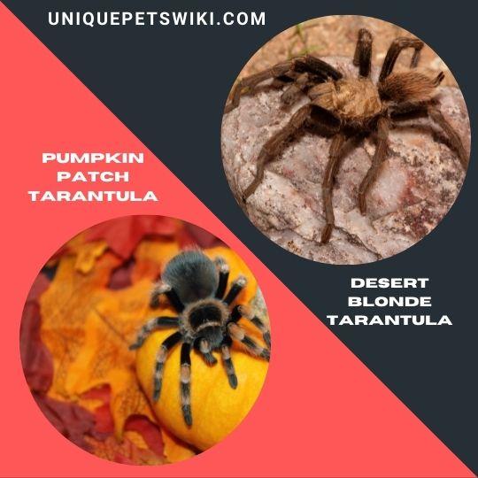 Pumpkin Patch Tarantula and Desert Blonde Tarantula