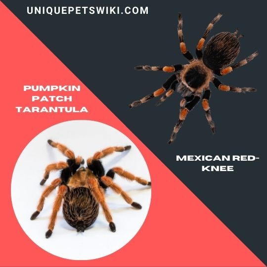Mexican Redleg Tarantula and Mexican Red-Knee Tarantula