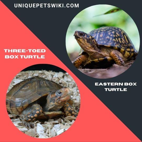 Three-Toed Box Turtle and Eastern Box Turtle