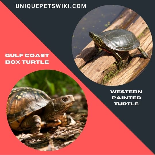 Gulf Coast Box Turtle and Western Painted Turtle
