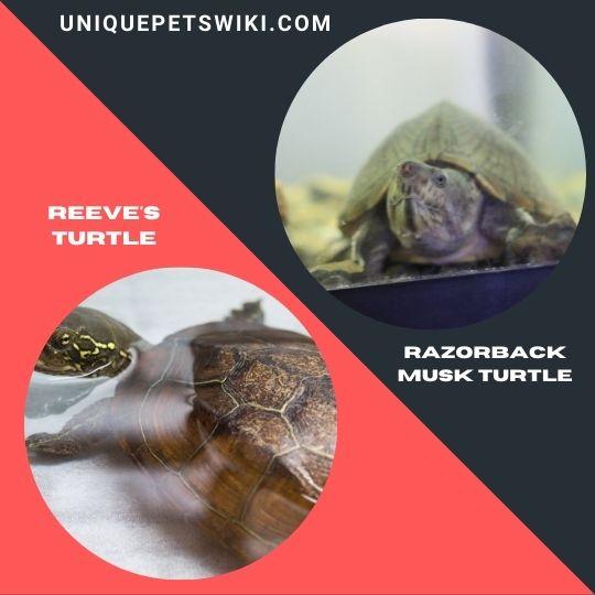 Reeve's Turtle and Razorback Musk Turtle