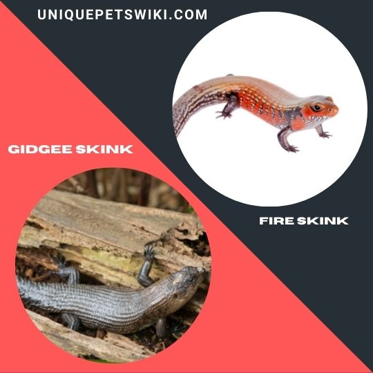 Gidgee Skink and Fire Skink