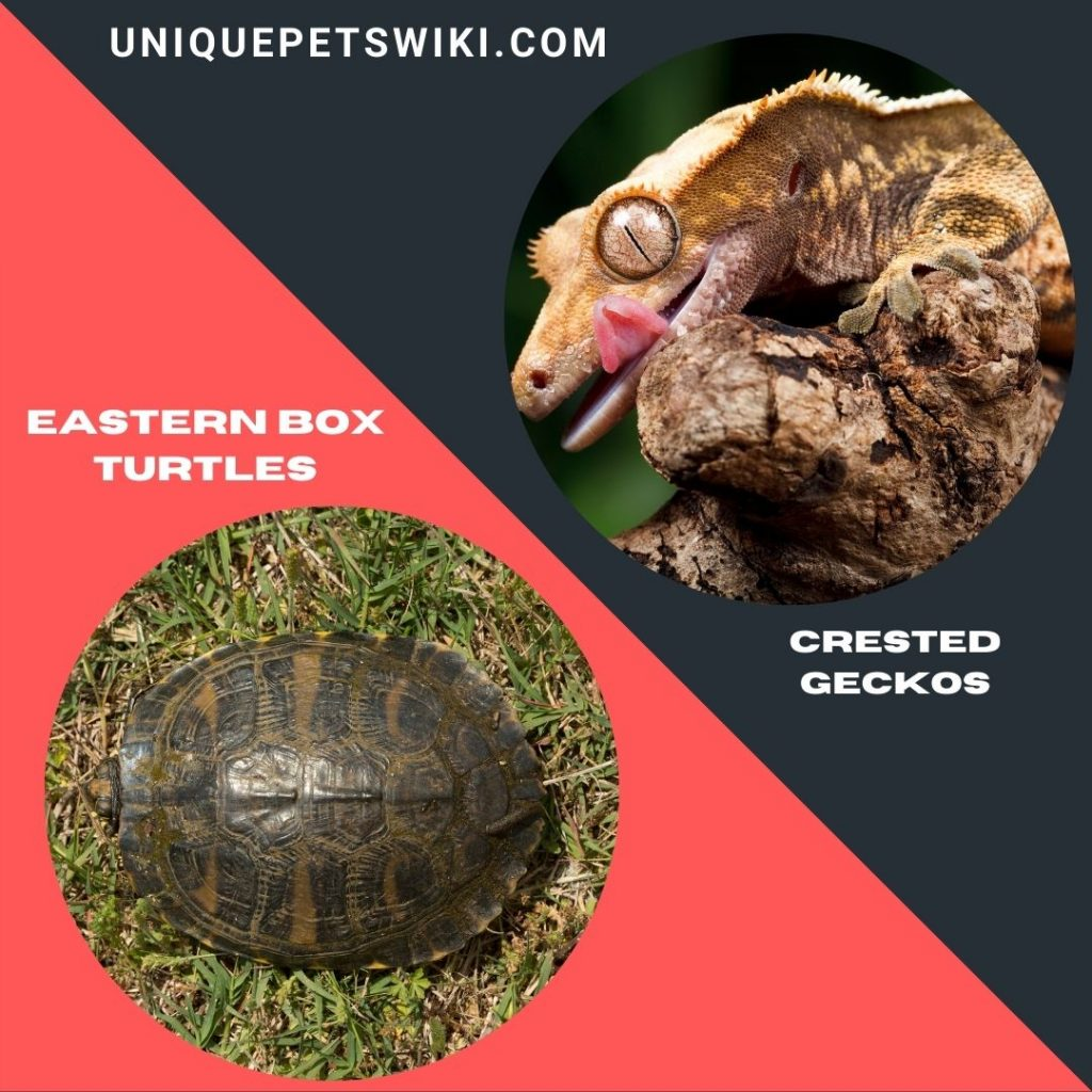 Eastern Box Turtles and Crested Geckos