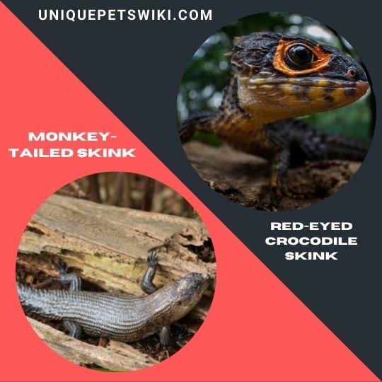 Monkey-Tailed Skink and Red-Eyed Crocodile Skink