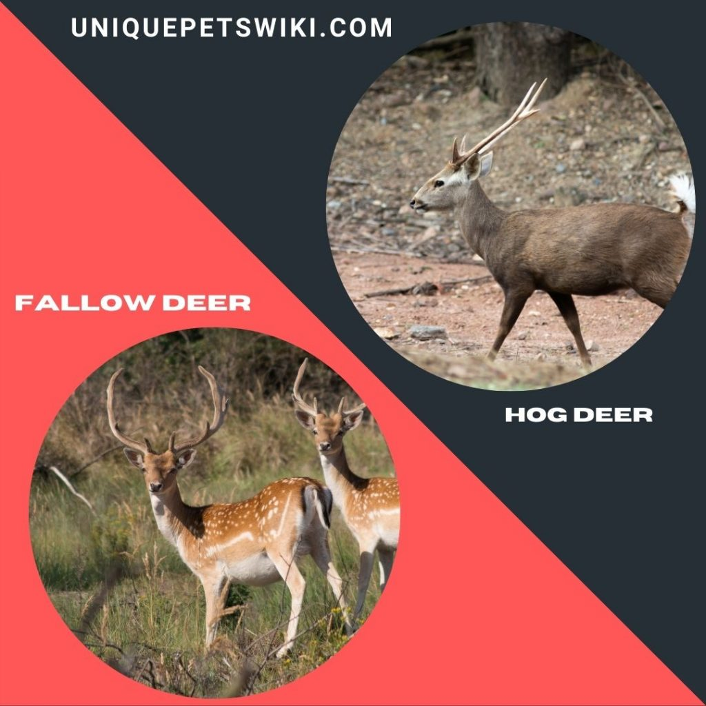 Fallow and Hog small deer breeds