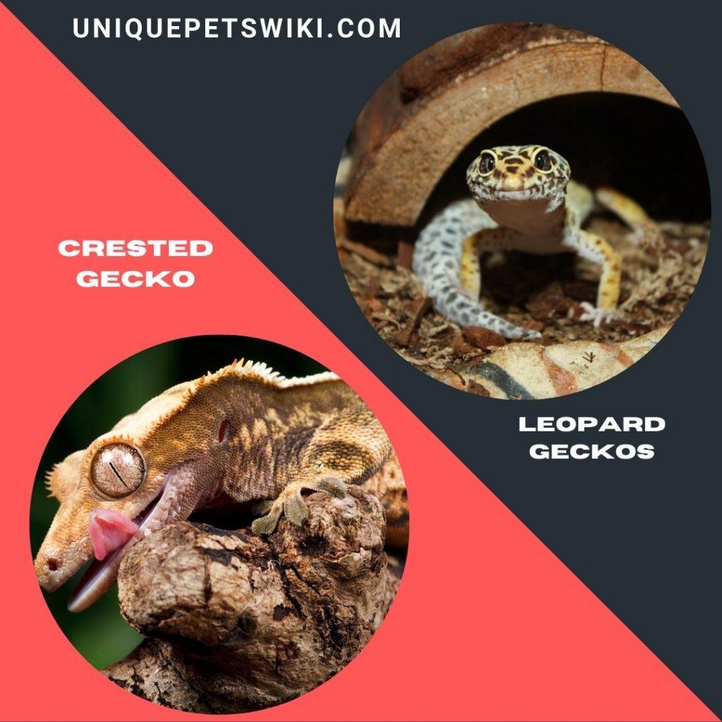 best beginner pet geckos