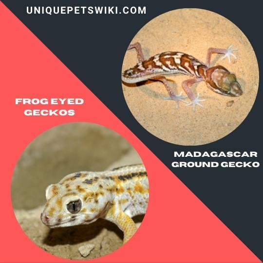 Frog Eyed Geckos and Madagascar Ground Gecko