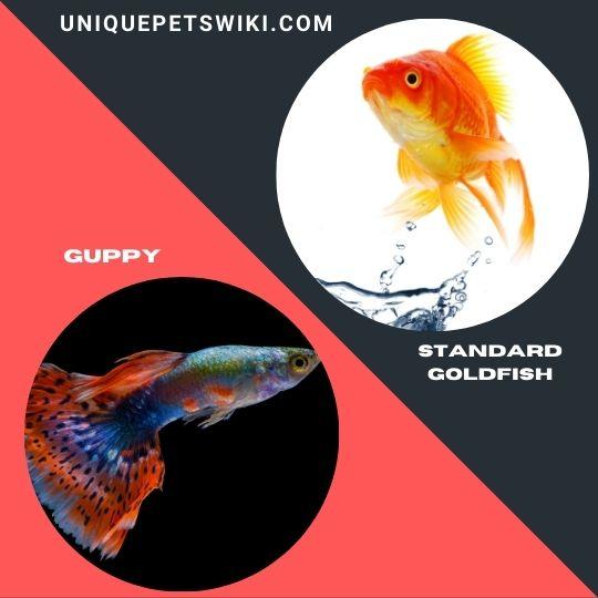best beginner pet fishes