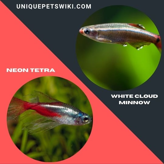Neon Tetra and White Cloud Minnow pet fishes