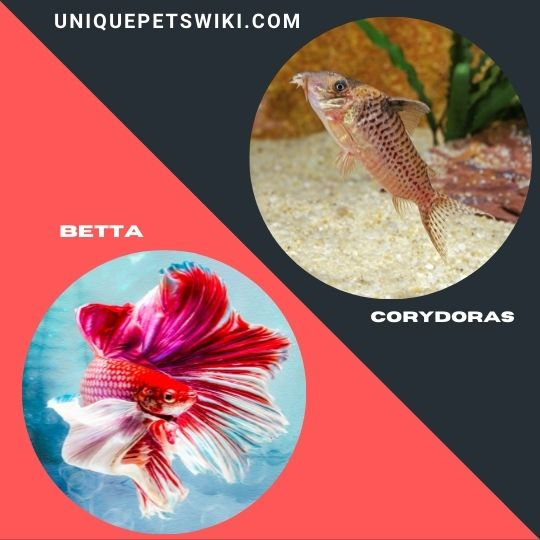 Betta and Corydoras pet fishes