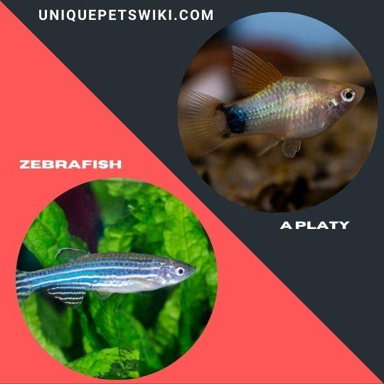 Zebrafish  and a Platy pet fish