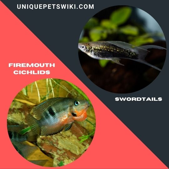 Firemouth Cichlids and Swordtails fish