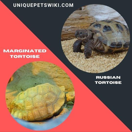 Russian Tortoise and Marginated Tortoise