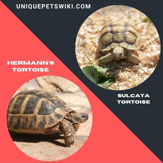Hermann's Tortoise and Sulcata Tortoise