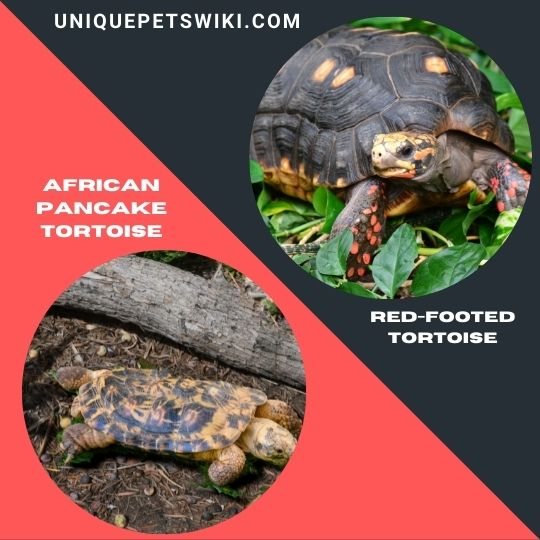 the African Pancake Tortoise and Red-Footed Tortoise